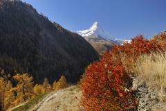 autumnal shrubs, matterhorn at the back, zermatt, valais, switzerland, europe - stock photo