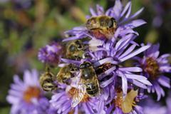 hoverflies, (episyrphus balteatus) and bees (api mellifera) on aromatic aster - stock photo