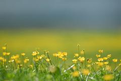 Buttercups Ranunculus on a meadow Elmen Lechtal Valley Tirol Austria Europe Stock Photos