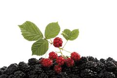 Unripe blackberries (rubus sectio rubus) with a leaf on ripe blackberries Stock Photos