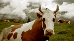 Cows sitting on grass field. farming farm. natural milk. healthy nature Stock Footage