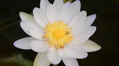 Bee in Lotus Flower Stock Footage