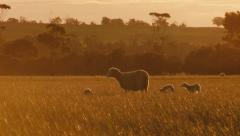Ewe and Lambs Wandering Across Field at Sunset - stock footage