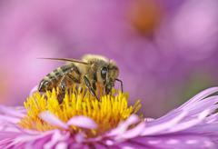 european honey bee or western honey bee (apis mellifera) sitting on an aster  - stock photo