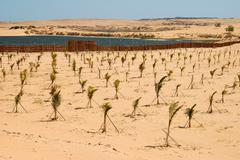 plantation with young palms for a reforestation project for the containment o - stock photo