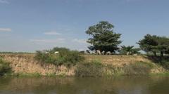 Brazil Amazon backwater near Santarem backwater bank with cows s Stock Footage