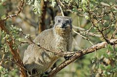 Cape hyrax, rock hyrax, (procavia capensis), champagne castle valley, drakens Stock Photos