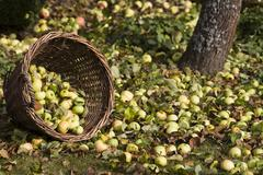 A tipped wicker basket under an apple tree, fallen apples in autumn Stock Photos