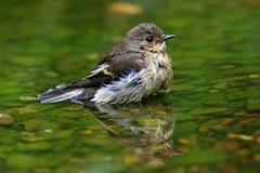 European pied flycatcher (ficedula hypoleuca) bathing in a stream Stock Photos