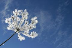 frost-covered umbel (apiaceae) against a blue sky - stock photo