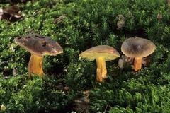 Xerocomus chrysenteron (xerocomus chrysenteron) Stock Photos