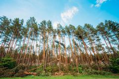 Stock Photo of windfall in forest. storm damage.