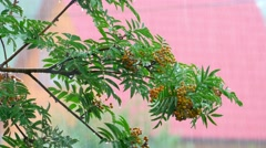 Branch of a mountain ash in the rain Stock Footage