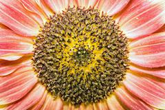 inflorescence of sunflower - stock photo