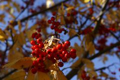 rowan berries (sorbus aucuparia) on a tree - stock photo