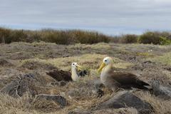 Stock Photo of waved albatrosses or galapagos albatrosses (phoebastria irrorata), española