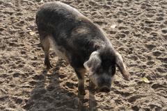 Mangalitsa pig, curly-hair hog (sus scrofa domestica), burgenland, austria, e Kuvituskuvat