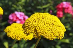 Flowering fernleaf yarrow (achillea filipendulina) and phlox (phlox paniculat Stock Photos