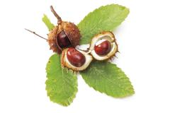 Horse-chestnuts (aesculus) Stock Photos