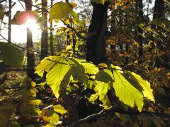 leaves of a common beech (fagus sylvatica), isar river floodplain near gerets - stock photo