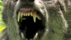 Angry wolf, Wolf closeup with fangs and tongue Stock Footage