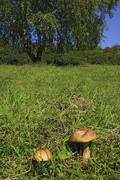 Birch boletes leccinum scabrum on a meadow with birch tree betula pendula in  Stock Photos