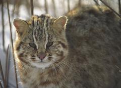 Stock Photo of amur wildcat / felis euptilura. ussuriland, southern far east of russia