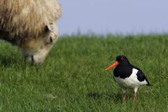 Qystercatcher and sheep on a dike in the german waddensea-nationalpark (haema Stock Photos
