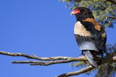 Bateleur eagle kgalagadi transfrontier park, kalahari gemsbok park, botswana  Stock Photos