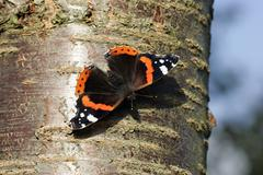 red admiral butterfly taking a sunbath on a cherry tree trunk (vanessa atalan - stock photo