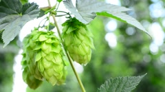 Detail of hop cones in the hop-garden, real time, Stock Footage