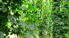 Hop garden, zoom in Stock Footage