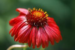 Blanket flower , blanketflower ( gaillardia grandiflora ´burgunder´ ) Stock Photos