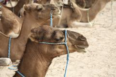 portrait of a camel on the edge of the sahara, douz, tunisia - stock photo