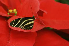 Stock Photo of tropical zebra butterfly heliconius charitonius, south-america, in the blosso