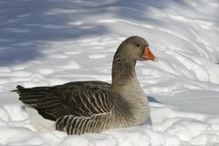 Stock Photo of european gray goose - grey goose (anser anser) in winter