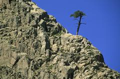 solitary corsican pine pinus nigra laricio in the golo valley corsica france - stock photo