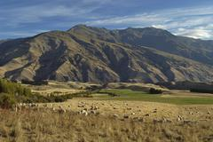 Farmland with sheep and arid mountains in the background, arrowtown, south is Stock Photos