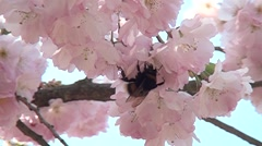 Bee in the flowers garden. Harwesting nectar. Bumblebee in the flowers. Stock Footage