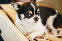 chihuahua dog close up portrait - stock photo