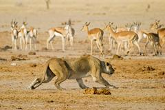 Lion, lioness (panthera leo) is hunting a springbok, (antidorcas marsupialis) Stock Photos