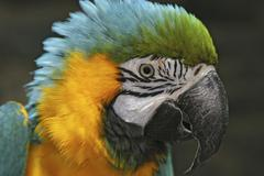 portrait of a blue-and-yellow macaw ara ararauna, parrot - stock photo