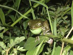 calling waxy monkey tree frog (phyllomedusa sauvagei) with vocal sac, gran ch - stock photo