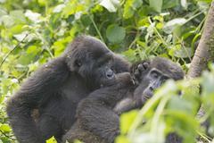 Mountain gorilla grooming another gorilla Kuvituskuvat