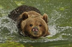 Brown bear, (ursus arctos) bathing Stock Photos
