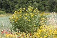 Common tansy ( tanacetum vulgare ) germany Stock Photos