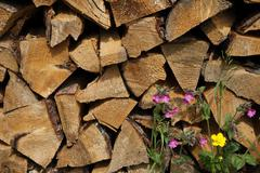 Red campion (silene dioica) , firewood , upper bavaria, germany Stock Photos