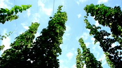 Hop garden, time lapse Stock Footage