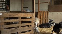 Rooster crows as goat herd lays in barn - Goat farm establishing shot Stock Footage