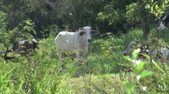 Brazil Amazon region near Santarem tropical cattle s Stock Footage